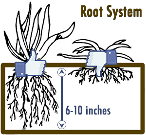 Healthy Grass Root System